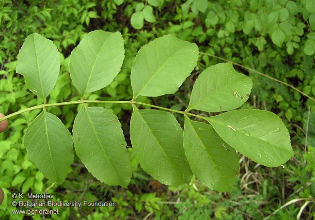 Fraxinus ornus 3 en further Dactylorhiza saccifera 3 en furthermore Spalni moreover Tilia cordata 8 en besides En photos. on bulgarian html
