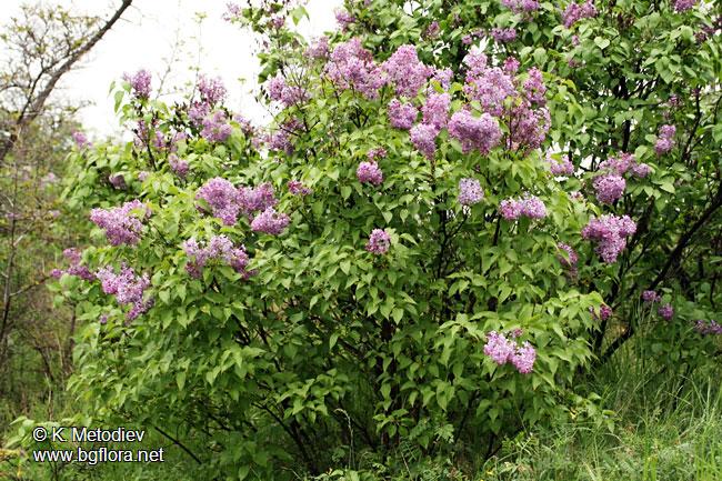 syringa vulgaris picture 7 the bulgarian flora online. Black Bedroom Furniture Sets. Home Design Ideas